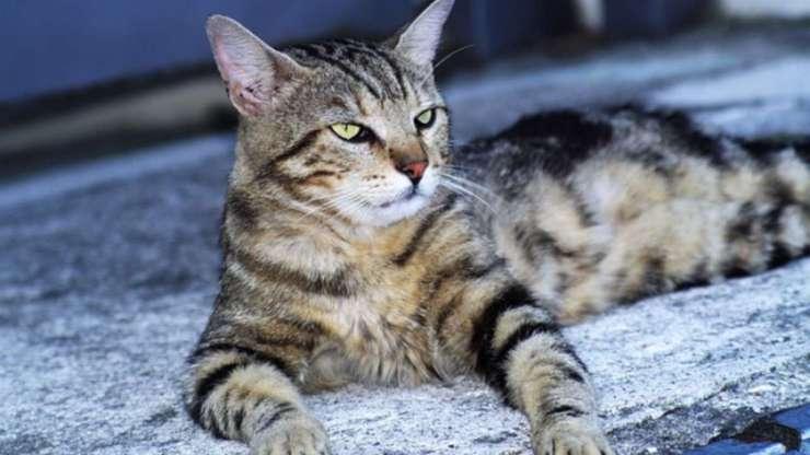razze di gatti tigrati