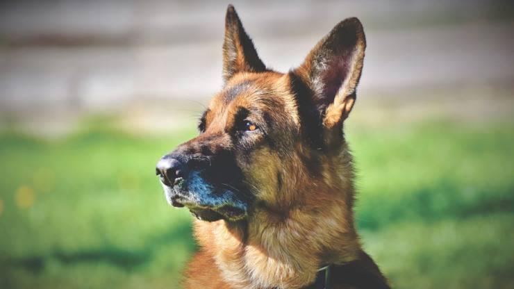 cane pastore tedesco compagni compatibili razze