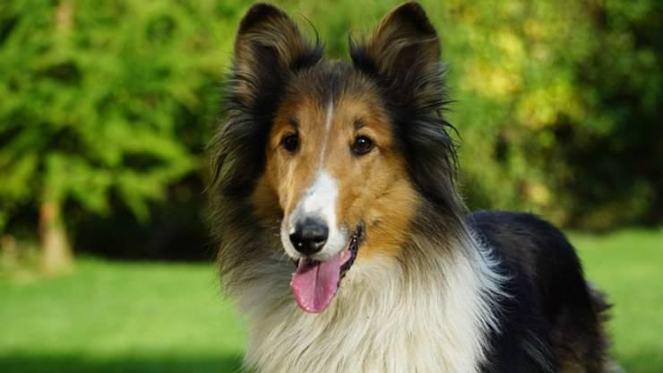 cane pastore scozzese cecità ciechi cieco cani