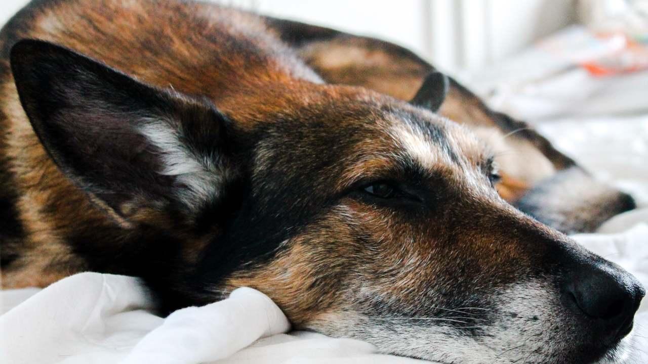 cane dormire dorme gira su sè stesso