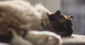 urolitiasi nel gatto