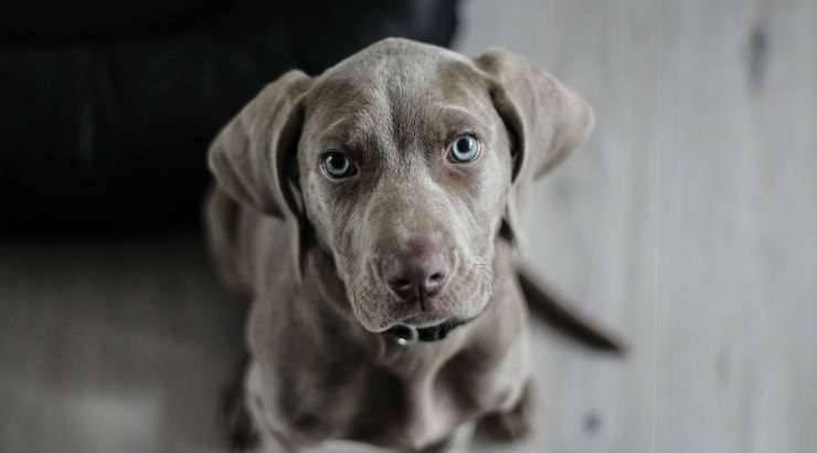 Cucciolo in cerca di adozione (Foto Pixabay)