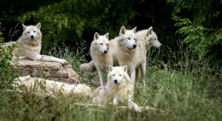Loups dans la nature