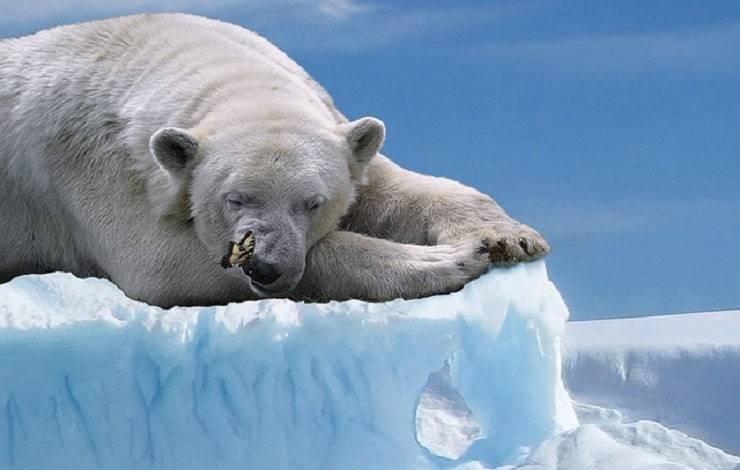 orso polare e farfalla