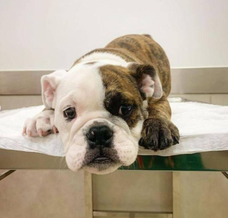 vétérinaire distrait la vaccination des aliments pour chiens