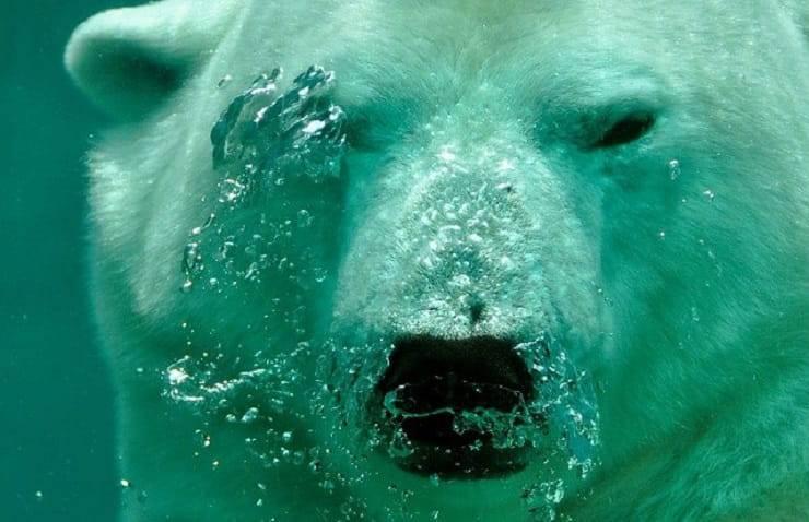 primo piano orso
