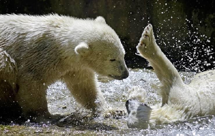 foto orso polare