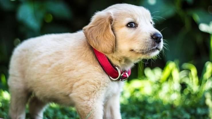 cucciolo cane collare