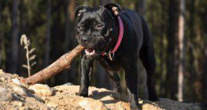 Staffordshire Bull Terrier malattie comuni problemi salute
