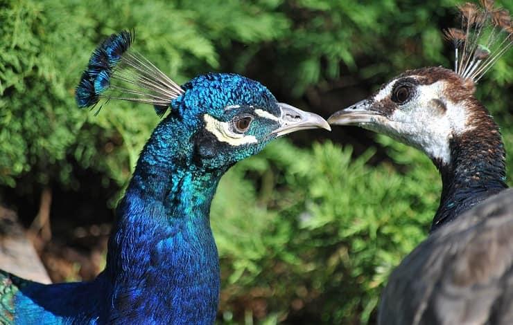 coppia di pavoni