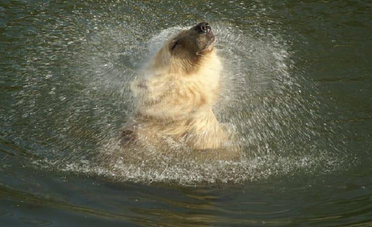 orso polare acqua