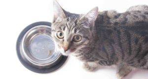 Il gatto può mangiare le capesante?