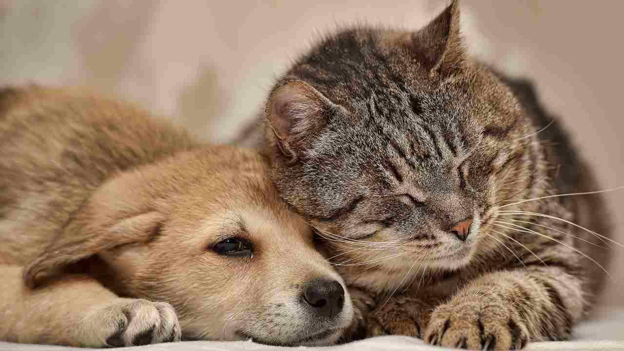 La convivenza tra cucciolo di cane e gatto adulto