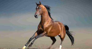 Quante razze di cavalli esistono al mondo?