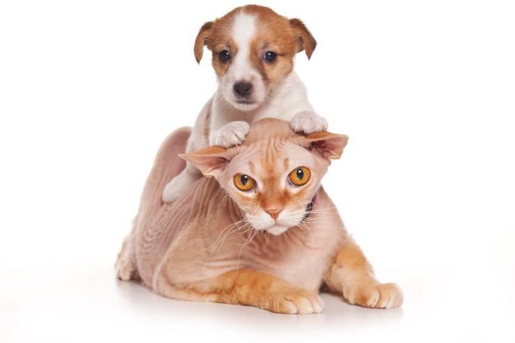Il cane monta il gatto