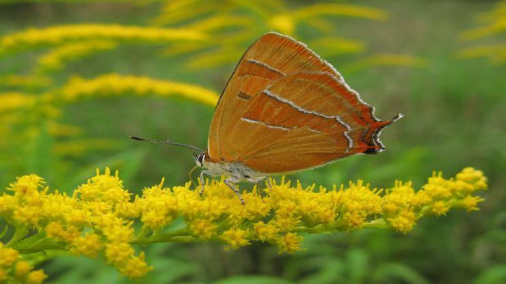 Le farfalle più velenose al mondo