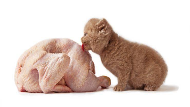 Pollo crudo al gatto