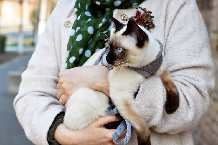 Razze di gatti russi: Thai Bobtail