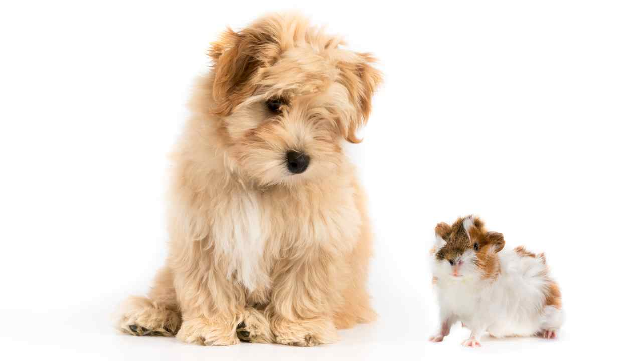 Convivenza tra cane e criceto