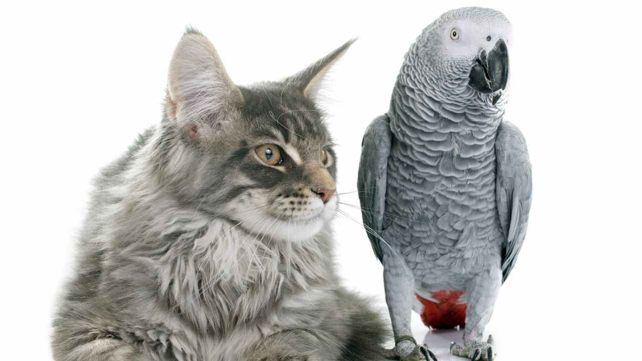 Gatto e pappagallo possono vivere insieme?