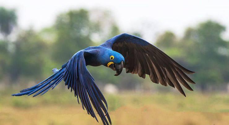 Ara Giacinto il pappagallo più grande del mondo