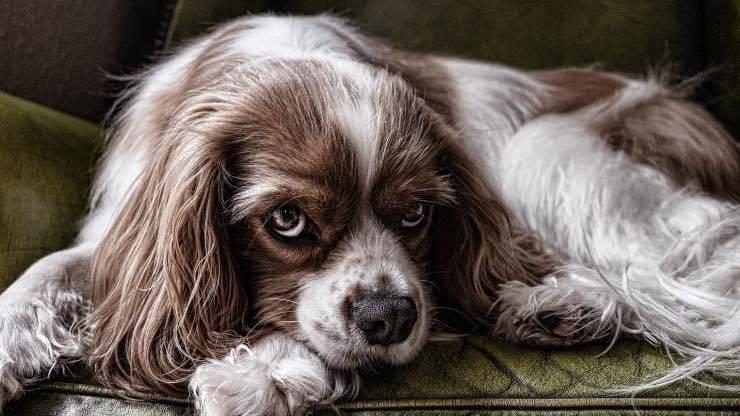 Dieta chetogenica nell'epilessia del cane