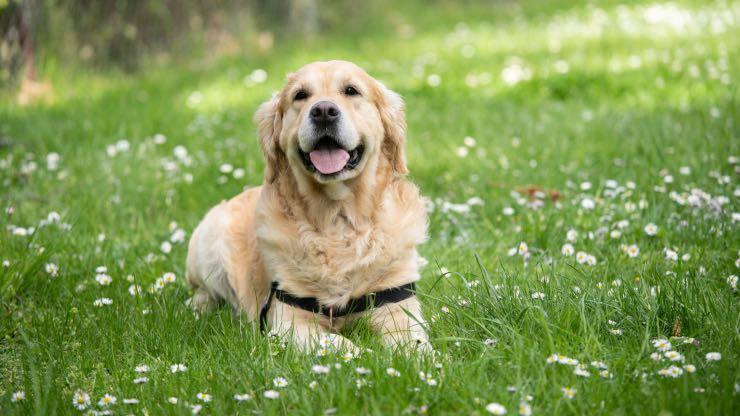 Vitamine K chez les chiens