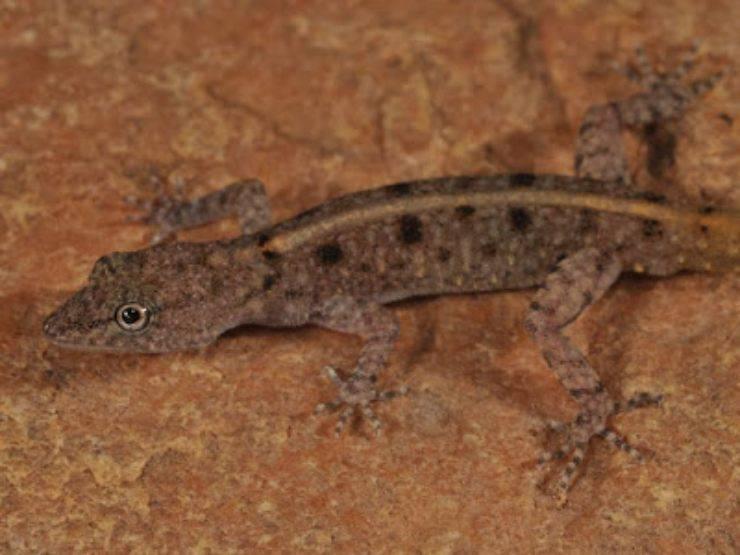 Cnemaspis Avasabinae pinterest