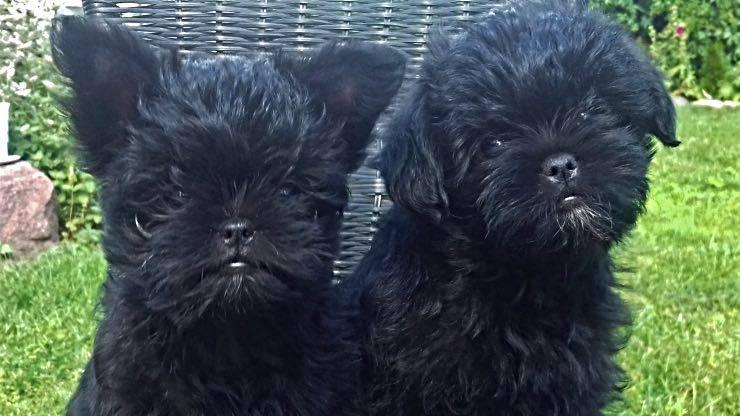 Cuccioli di Affenpinscher