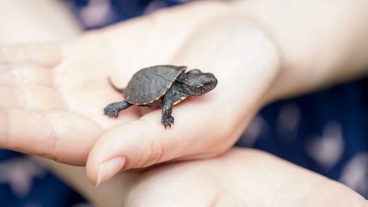 Cucciolo di tartaruga