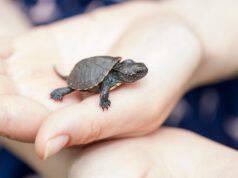 i cuccioli di tartaruga vanno in letargo?