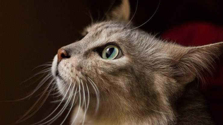 Il gatto può mangiare il topinambur
