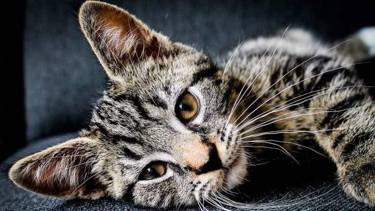 Emodialisi gatto