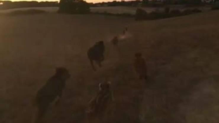 Cinghiali Volpe Drone Video