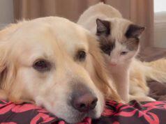 Il gatto e il Golden Retriever (Foto video)