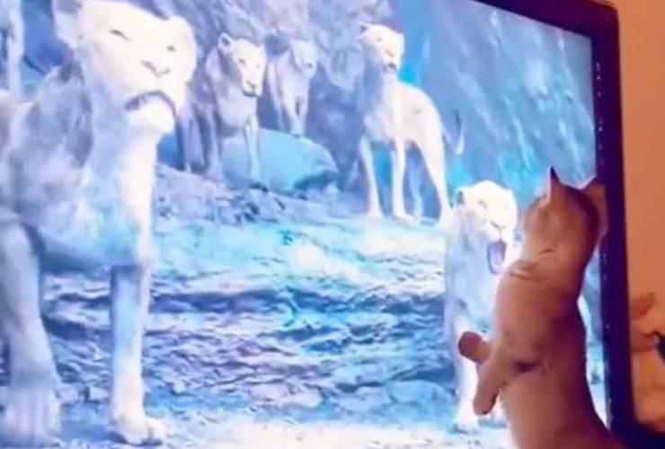 Gatto Il Re Leone Video