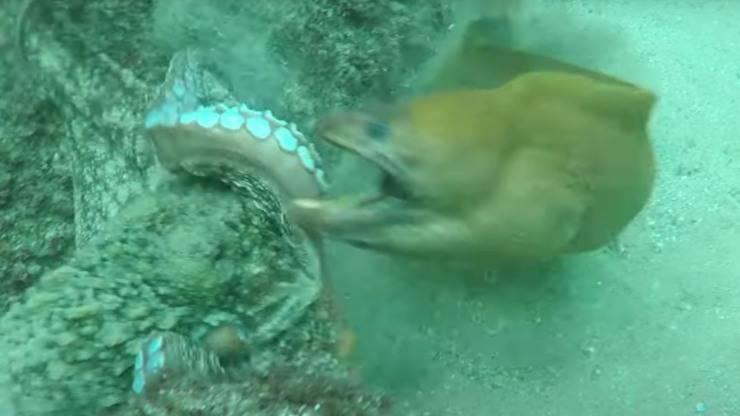 Attaque vidéo de Moray Octopus