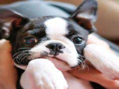 Malattie più comuni del Boston Terrier