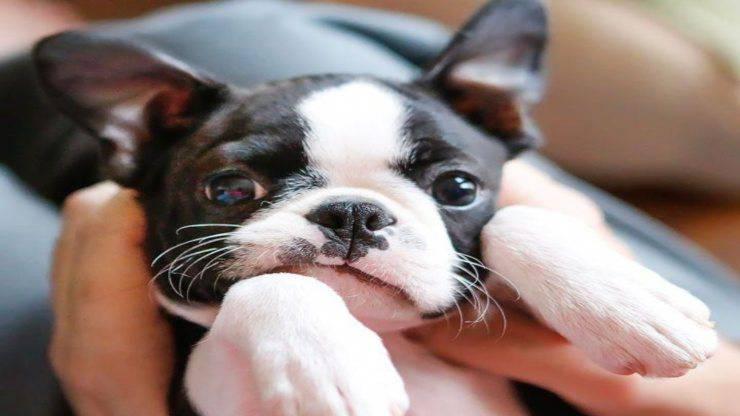 Maladies les plus courantes du Boston Terrier
