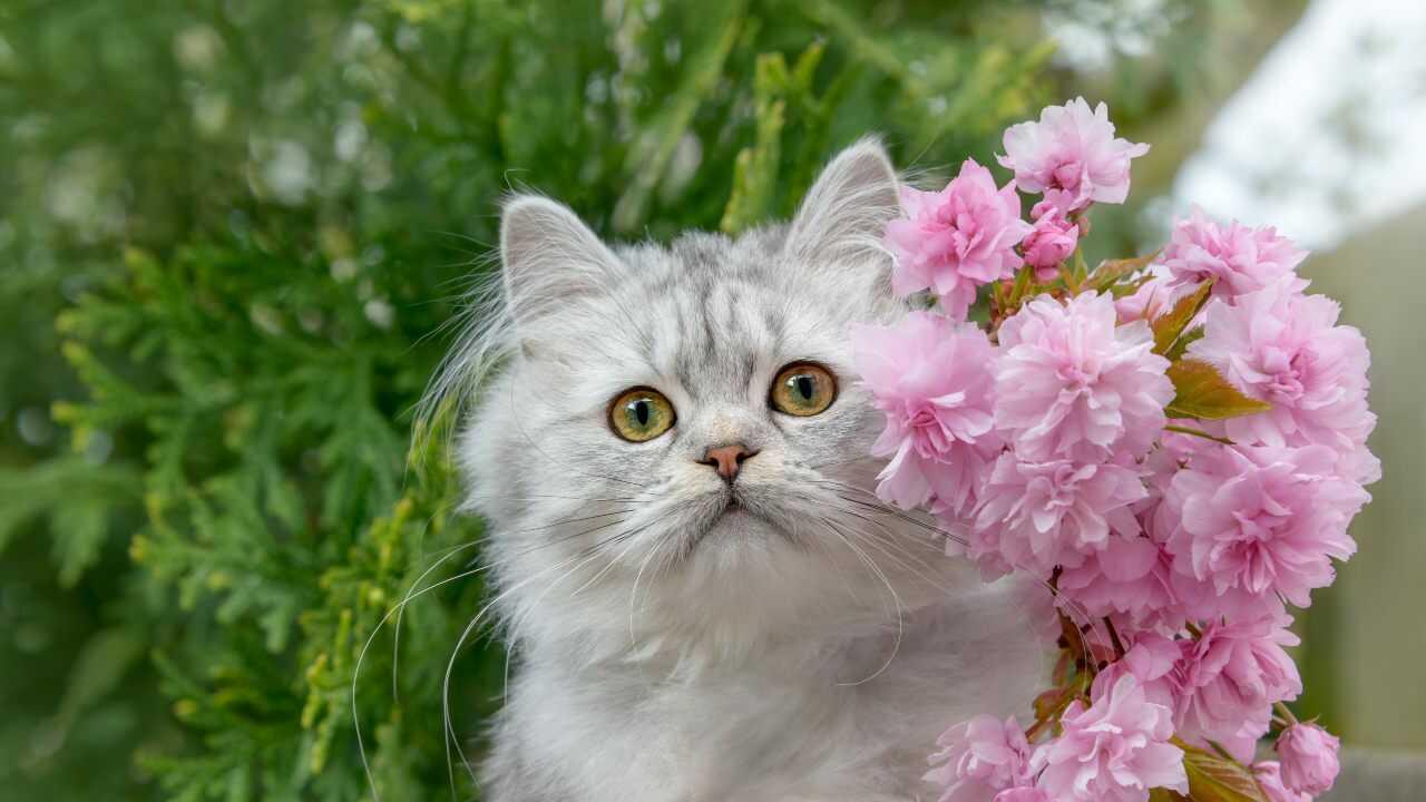 adottare british longhair
