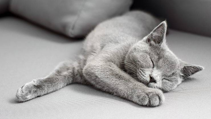 adottare british shorthair