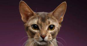 alimentazione gatto abissino