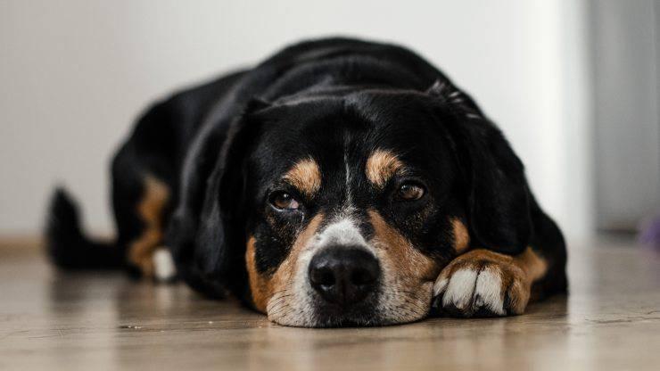 nutrition pour le chien atteint de cystite