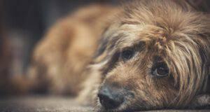 anomalia di pelger huet nel cane