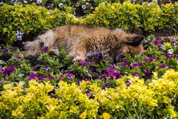 avvelenamento da lilium nel cane