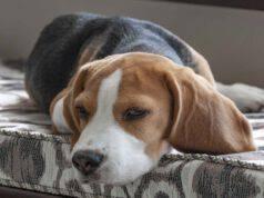 Le razze canine e le malattie articolari