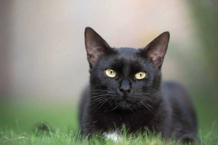 Razze di gatti neri