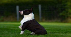Adottare un Boston Terrier