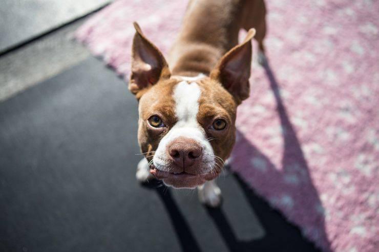Cucciolo di Boston Terrier