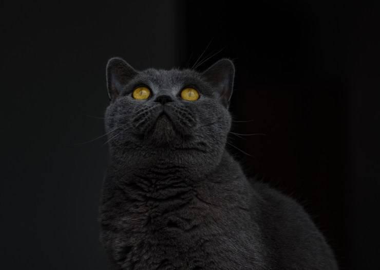 Razze feline nere comuni